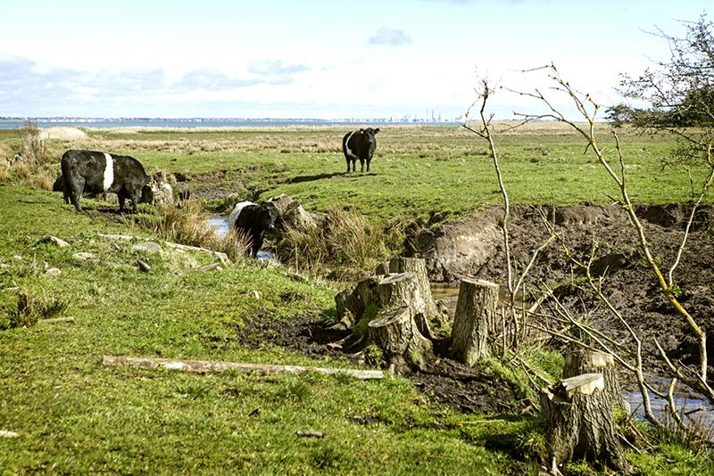 Fritgående køer nyder livet på engene ud til Vadehavet.